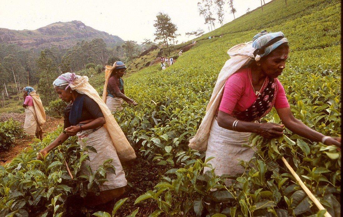 Tea Plantation, Kandy, Srilanka